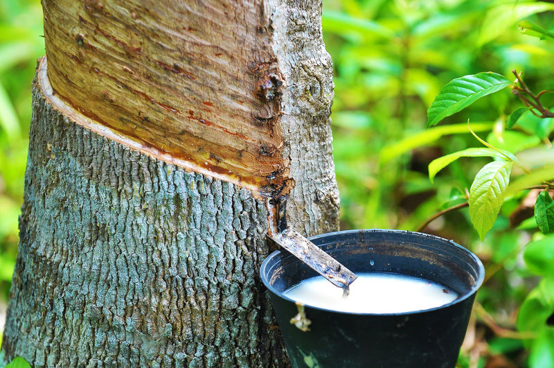 Close-up of latex collecting in bucket attached to rubber tree