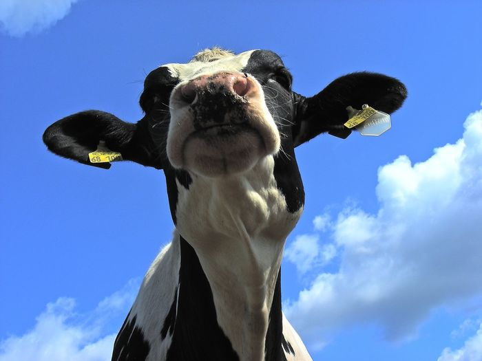 Black White Blue Cloud - Sky Cow Day Domestic Animals Head Of Cow One Animal Sky