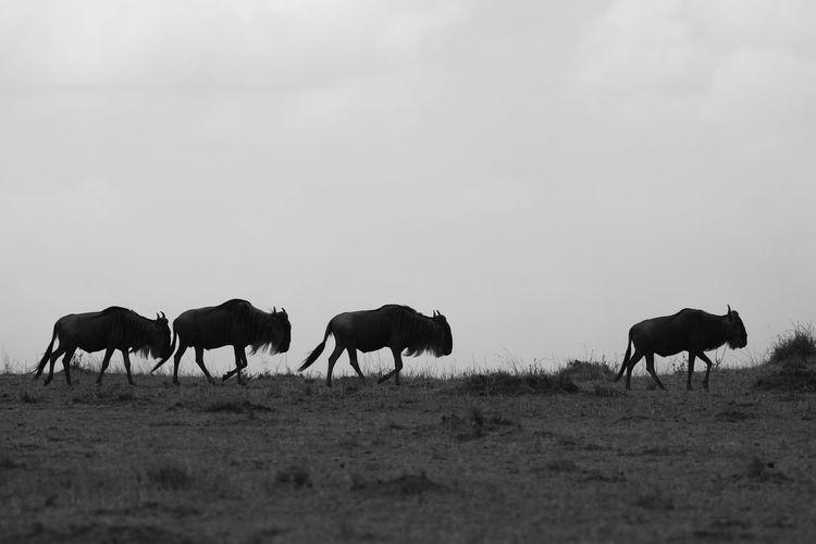 Wildebeests walking on grassy field against sky