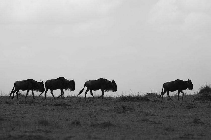 The great wildebeest migration, Maasai Mara, Kenya Africa Animal Behavior Animal Themes Black And White Herbivorous Maasai Mara Maasai Mara National Park National Parks Kenya Silhouettes Wildebeest Wildebeest Migration