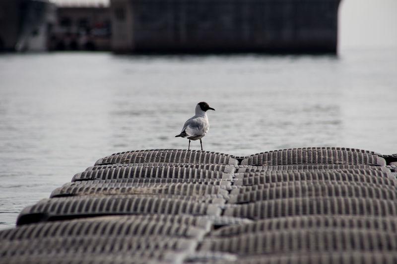 Black-Headed Gull On Pier By Sea