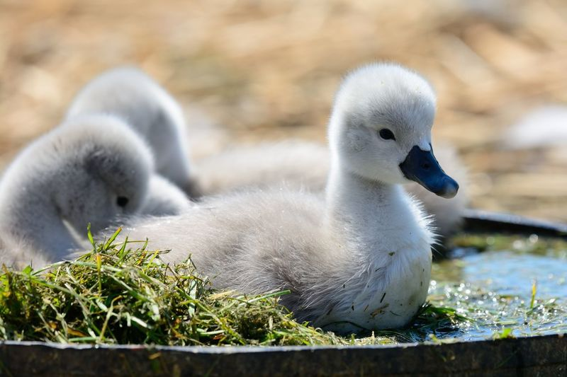 Close-Up Of Cygnets In Water