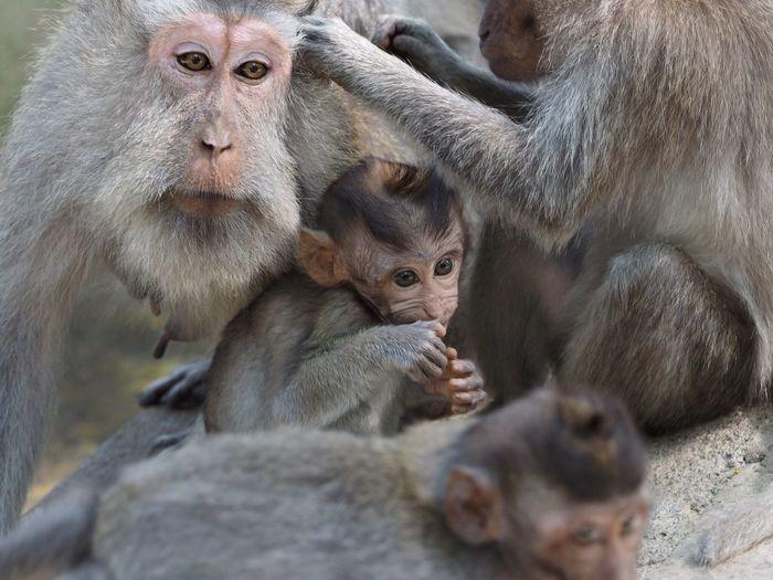 Monkey Bali Ubud INDONESIA Baby Family Monkies