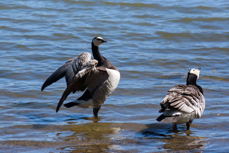 Barnacle goose (Branta leucopsis) standing in water at lake with opened wings. Branta Leucopsis Geese Animal Themes Animal Wildlife Animals In The Wild Barnacle Goose Beauty In Nature Bird Lake Nature No People Opened Wings Water Waterbirds