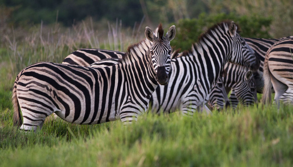 Animal Themes Animals In The Wild Day EyeEmNewHere Grass Mammal Nature No People Outdoors Safari Animals Side View Striped Zebra