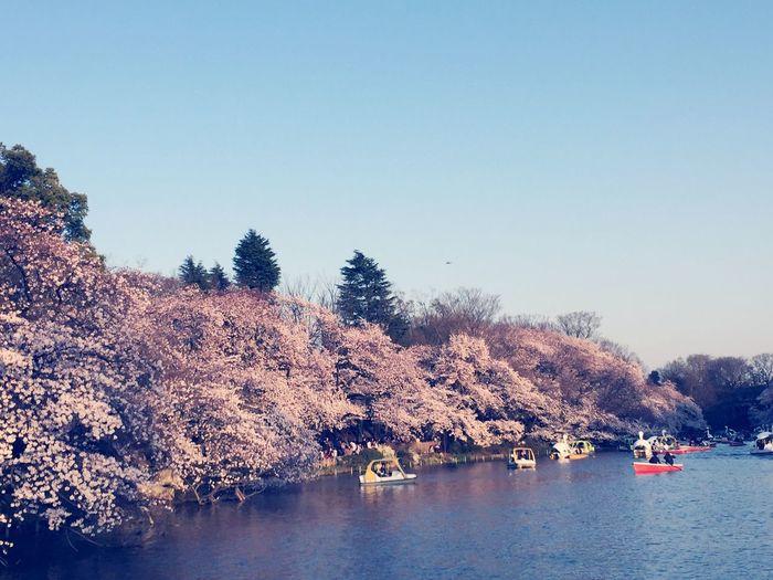 Soaking Up The Sun Hanami Sakura Inokashira Kichijoji Tokyo Spring