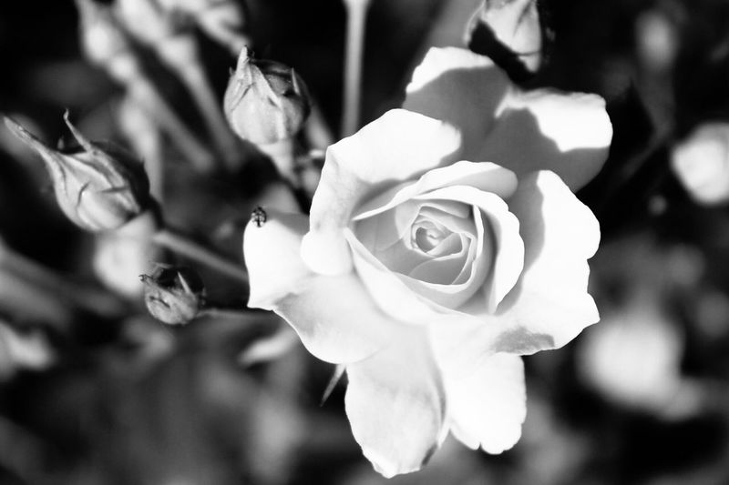 Flower Flowering Plant Plant Rosé Beauty In Nature Petal Rose - Flower Close-up Growth Flower Head Nature No People Focus On Foreground Day Outdoors Springtime EyeEmNewHere This Is Strength It's About The Journey