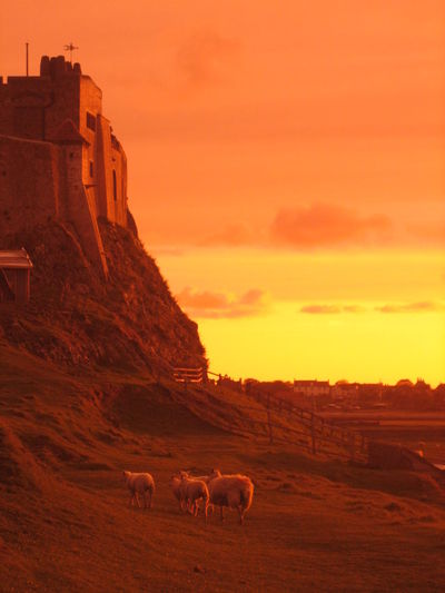 Beauty In Nature Castle Domestic Cattle Evening Holy Island Landscape Landscapes With WhiteWall Lindisfarne Livestock Nature Orange Color Sheep Sky Sunset Walk