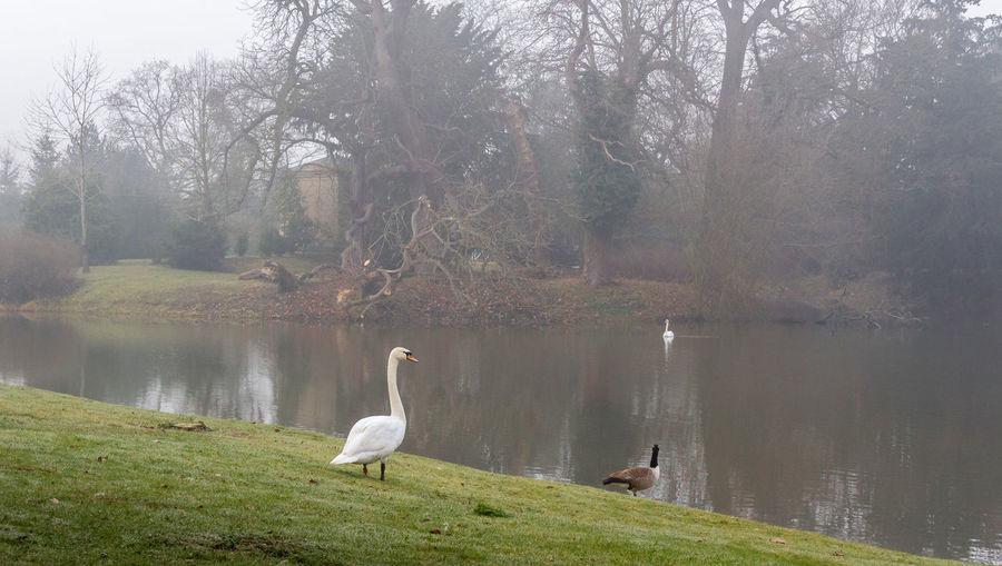 Croome Fog Mist Water No People Outdoors Beauty In Nature Swan Water Bird Nature Bird