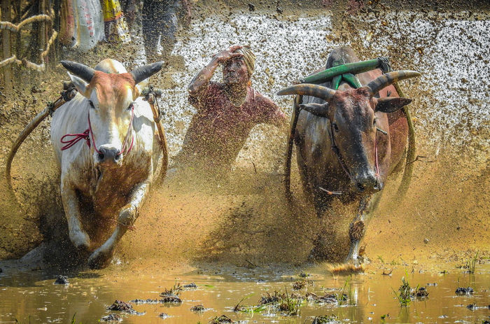 Pacu Jawi is a Culture of Padang, Indonesia - August 2015 Building Competition Crowd Culture Event Harness INDONESIA Paddy Photography Race Recreational Pursuit Reflection Reflections Relaxing Splash Splashing Sport Strapped Sumatera Track Tradition Traditional Traditional Culture Village Water