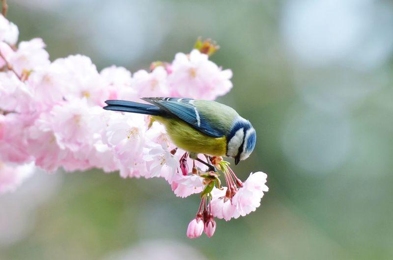 雀语花 Bird