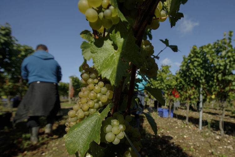 Full frame shot of grapes growing in vineyard