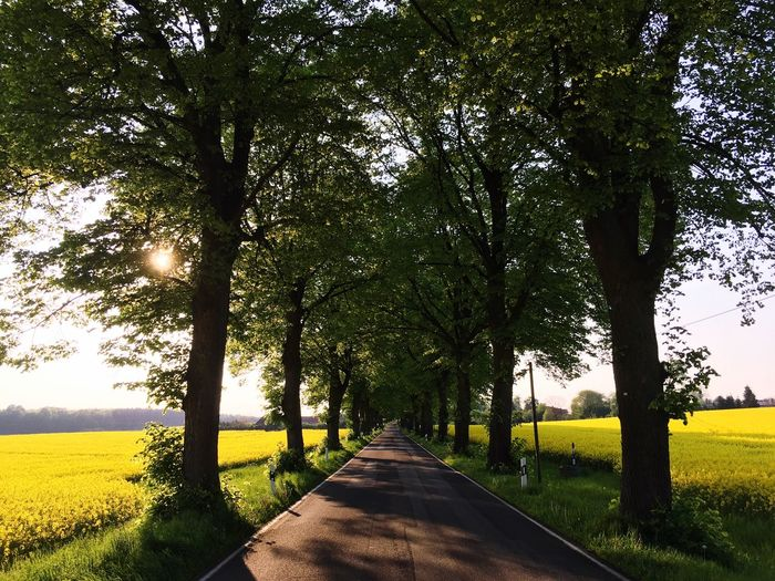 Tree Yellow Alley Rapsfeld Mecklenburg-Vorpommern Nature Beauty In Nature Summer