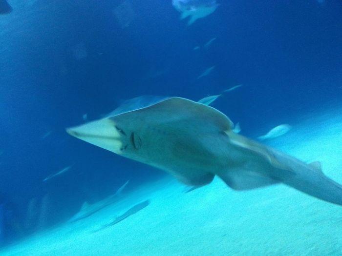 Swimming Underwater Animals In The Wild UnderSea Animal Wildlife Sea Sea Life Swimming Fish Guitarfish Guitarfish Face Rhinobatidae Movement Photography Blurry