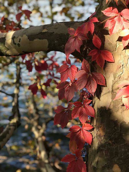 Leaf Tree Autumn Day Branch Growth Outdoors Focus On Foreground Nature Beauty In Nature No People Low Angle View Change Fragility Close-up Flower Freshness Maple