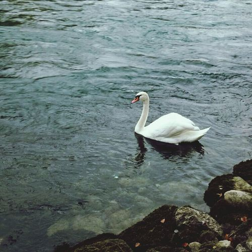 Nature Swan Nature_collection Photoday:)