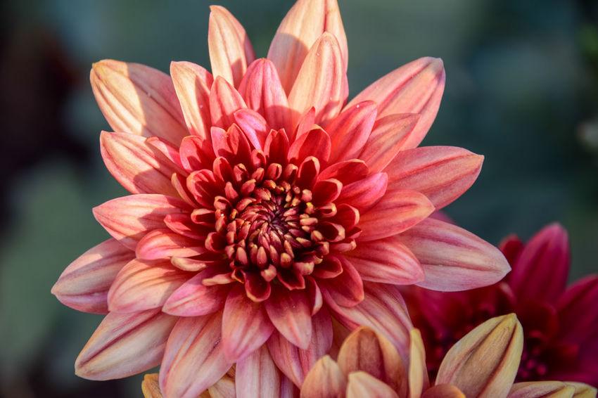 Close up of chrysanthemum flower. Chrysanthemum Flower Head Flower Water Pink Color Petal Beauty Red Pollen Close-up