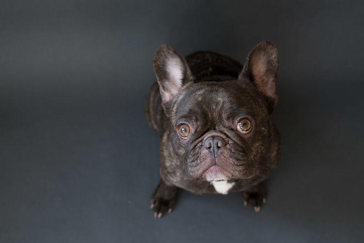 High angle portrait of french bulldog on black background