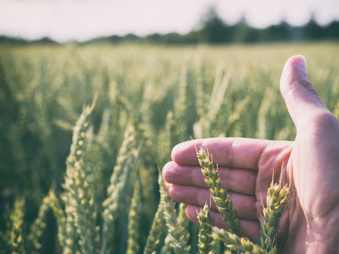 Close-up of hand holding crops
