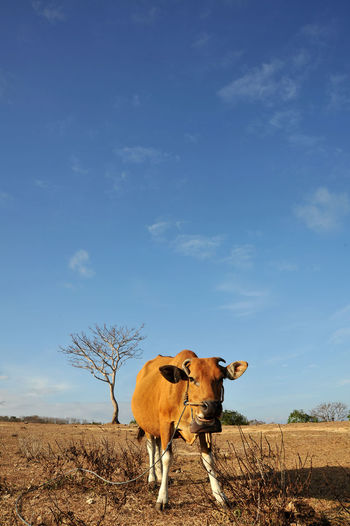 """dz58"" Indonesian Ballinese Landscape_Collection Landscape Cow Blue Sky Cow And Sky Cow And Field EyeEm Selects Agriculture Portrait Standing Looking At Camera Sky EyeEmNewHere"
