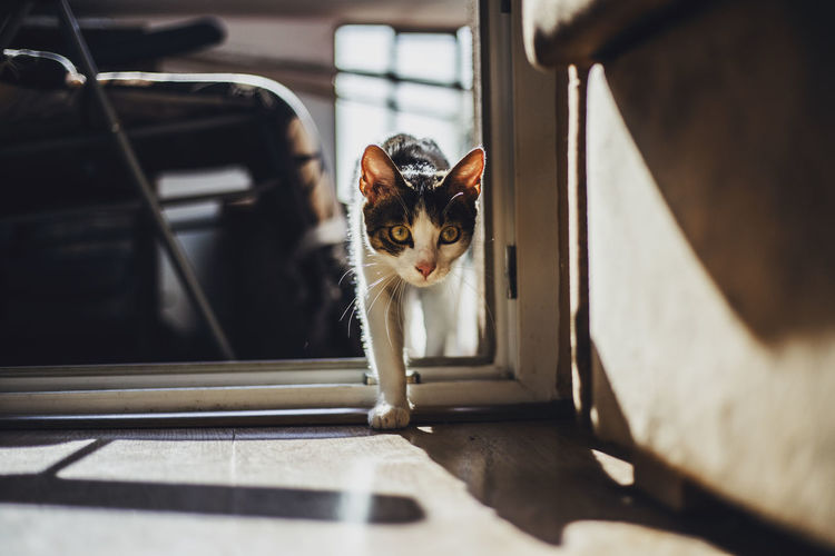 Cat Walking On Doorway At Home