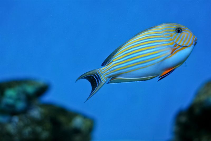Lined Striped Surgeonfish Tang Fish Traveling Aquarium Theme Park Tampere Finland