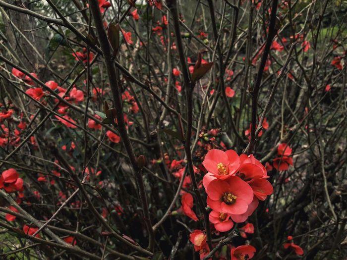 Flower Head Flower Tree Branch Red Springtime Poppy Blossom Petal Close-up
