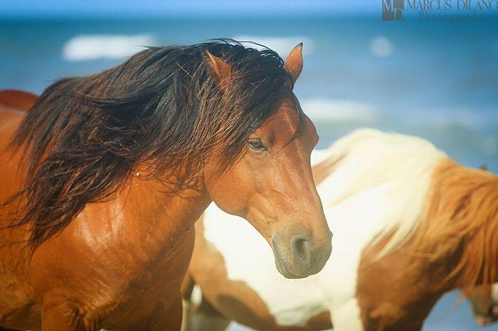 Wild Horses Wild Horses Assateague  Oceancitycool Maryland Ponies Of Assateague Island Ponies Wildlife Photography Beautiful Animals