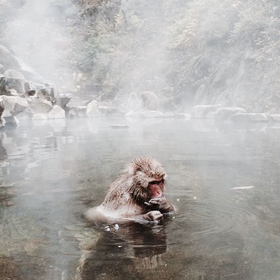 Monkey in hot spring during winter