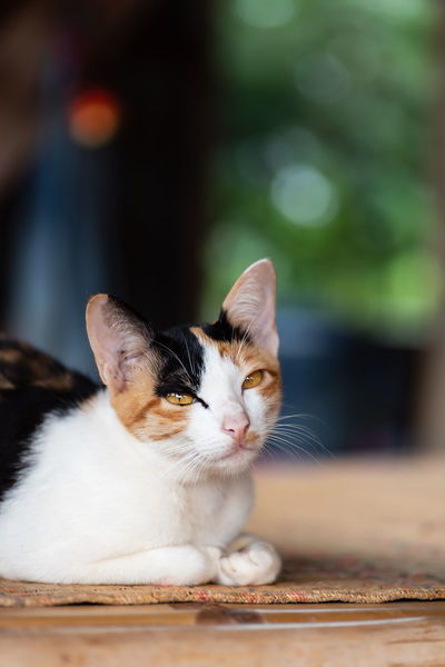 Tricolor cat Kitty Thai Cat Animal Animal Eye Animal Head  Animal Themes Cat Close-up Cute Cats Day Domestic Domestic Animals Domestic Cat Feline Focus On Foreground Kitten Looking Mammal One Animal Pets Relaxation Selective Focus Sitting Tricolor Cat Whisker