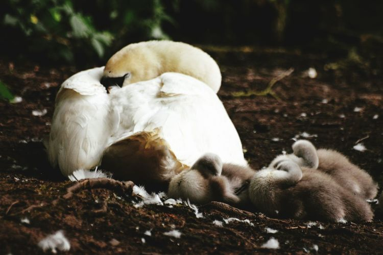 Mute Swan With Cygnets Relaxing On Field