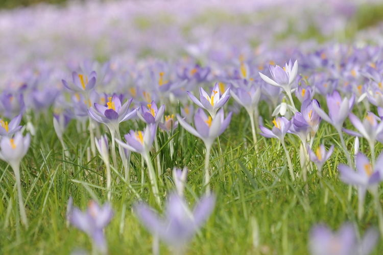 Beauty In Nature Blooming Crocus Crocus Flower Crocuses Day Flower Flower Head Fragility Freshness Grass Green Color Growth Nature No People Outdoors Petal Plant Purple