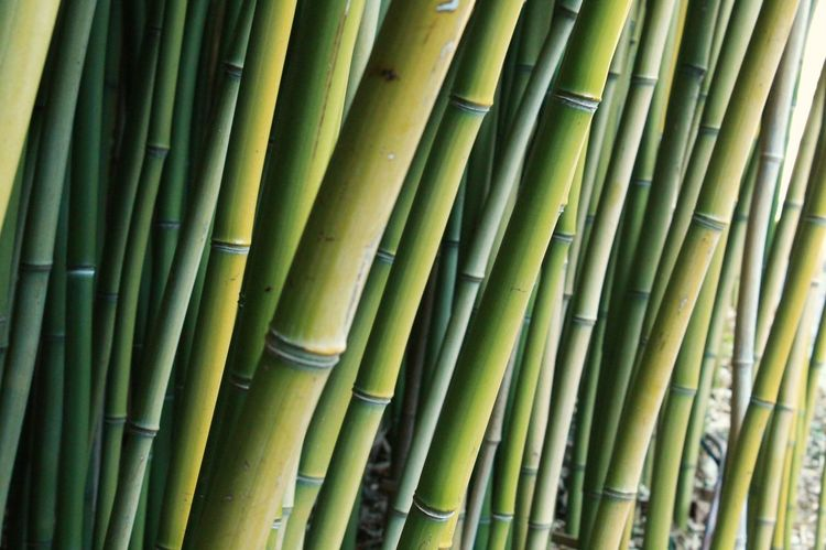 Anduze Backgrounds Bamboo - Plant Bamboo Forest Bamboo Grove Beauty In Nature Close-up Day Green Color Growth Nature No People Outdoors Tree