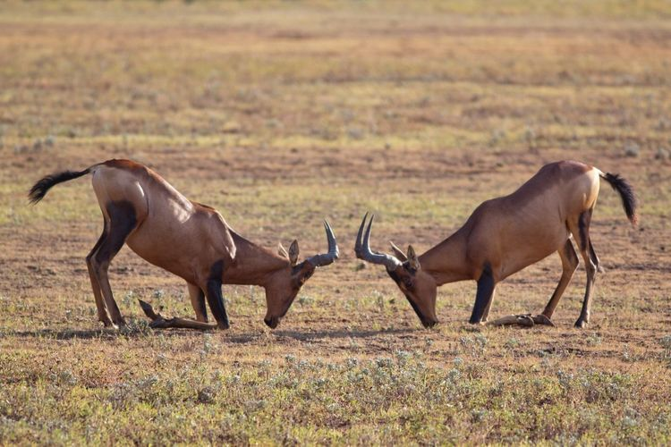 Side view of antelopes fighting on field
