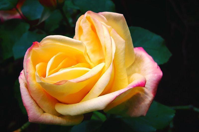 Delicate Rose -