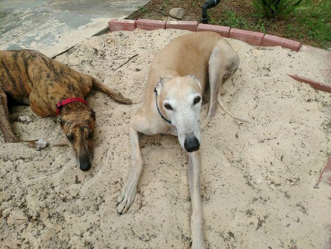 Greyhounds Relaxing