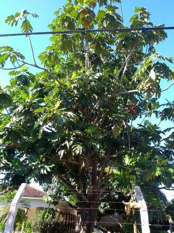 Fruta pão Tree Branch Sky Plant Life