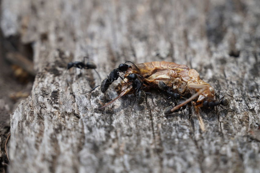 Ant Life Ant Photography Ant Colony Eating Grillo Macro Photography Animal Themes Animal Work Animal World Animals In The Wild Ant Bugs Cirle Of Life Cricket Crickets Macro Animal Macro Collection Macro Nature Nature No People