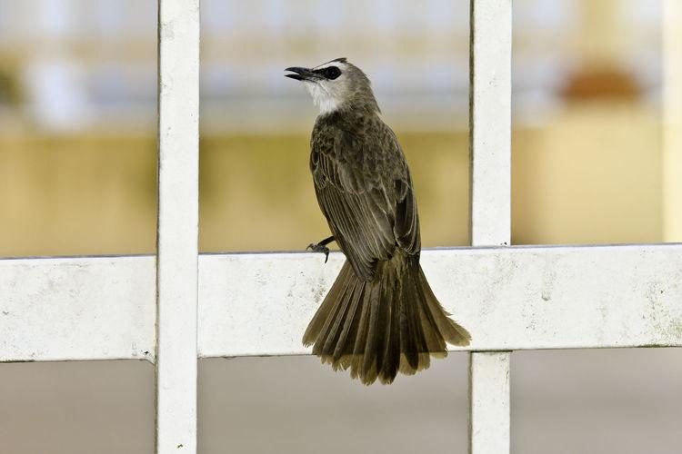 Bird Bird Photography Bird Resting .. Abstract Metal Figure Versus Natural Growth Bird Watching Birds_collection Borneo Feather  Pycnonotus Goiavier