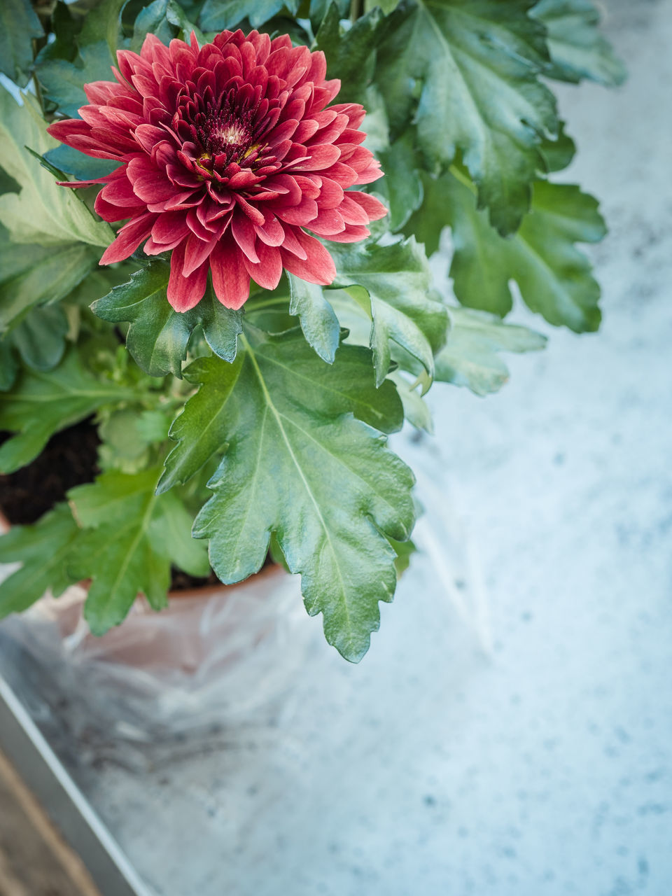 HIGH ANGLE VIEW OF RED FLOWERING PLANT IN WATER