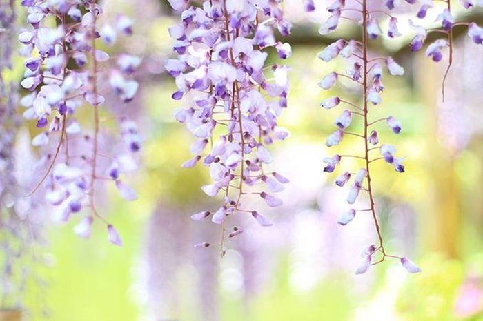 藤 藤まつり 亀戸天神 花を君に 藤の香りすごく好きです。