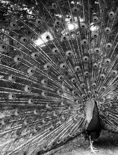 Beauty in the details... ❤️ Beautiful Feathers Beautiful Art Blackandwhite Photography Blackandwhite Doodle Inspiration Doodle Art Closeup Feather  Texture Styles Texture And Pattern Texture Details Of Nature Abstract Artistic Photo Nature Lover Beautiful Nature Beauty Of Decay Beauty In Nature Bird Paon Peacock Day High Angle View Full Frame Sunlight Land No People Pattern