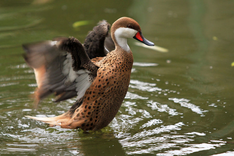 Wood Duck Animal Themes Animal Wildlife Animals In The Wild Bird Collection Birds_collection Ducks Garden Lake Nature No People Outdoors Pearcing Playing Swimming Theme Togerherness Water Water Front  Wood Ducks