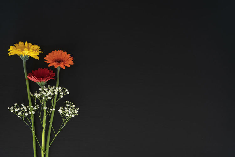 Gerbera Daisy and Gypsophila against blackboard background, left hand version with copy space. Copy Space Gypsophila Gypsophila Flowers Beauty In Nature Black Background Blackboard  Close-up Copy Space Daisy Flower Flower Arrangement Flower Head Flowering Plant Fragility Freshness Gerbera Daisy Growth Indoors  Inflorescence Nature No People Petal Plant Studio Shot Vulnerability