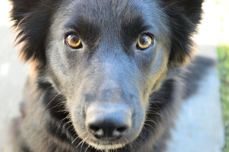 Salem, a GSD x Border Collie. Taken with a Nikon D3200 Animal Eye Animal Head  Animal Nose Black Color Close-up Domestic Animals No People Pets Selective Focus Snout