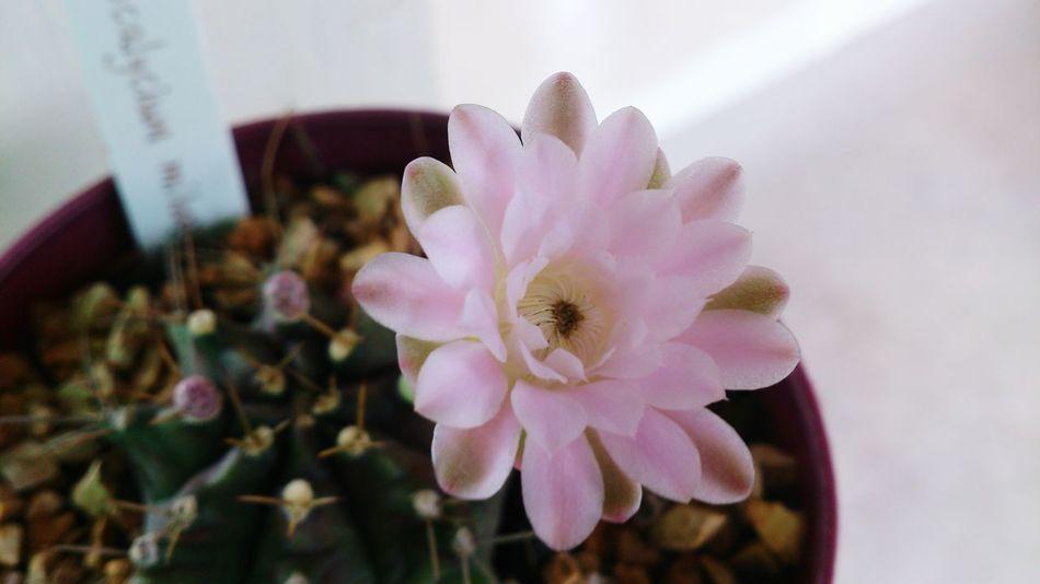 :) Cactus Cactusland. Cactus Flower I Love Cactus I ♥ Cactus Cactustree Cactusclub Cactuslove EyeEm Cactus Thailand_allshots