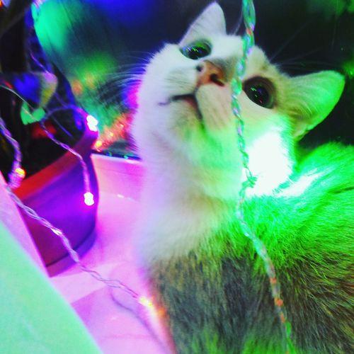 Close-up of multi colored cat