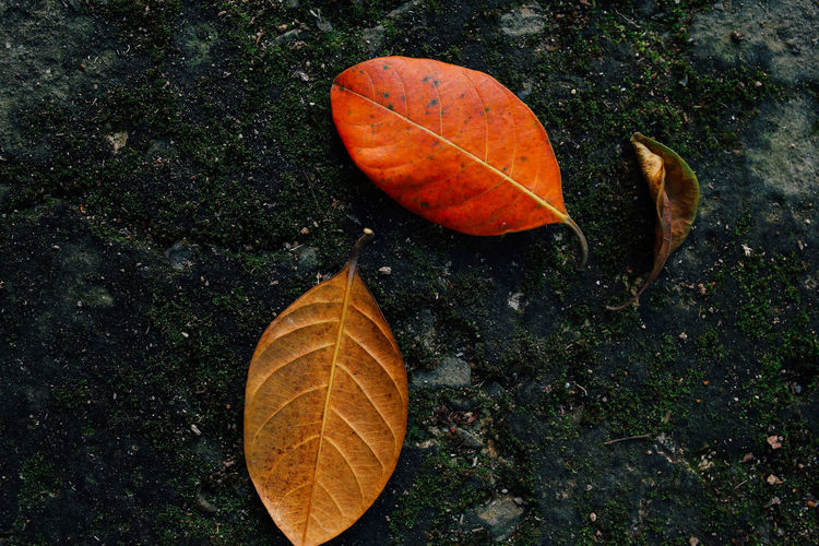 Three leaves on the ground Leaf Plant Part Change Autumn Orange Color Nature Day Dry High Angle View Close-up Leaf Vein Outdoors Leaves Plant Beauty In Nature Color