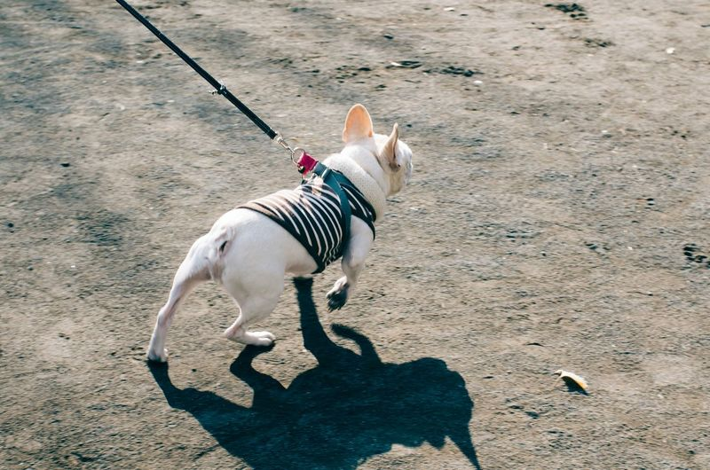 High angle view of french bulldog walking on street