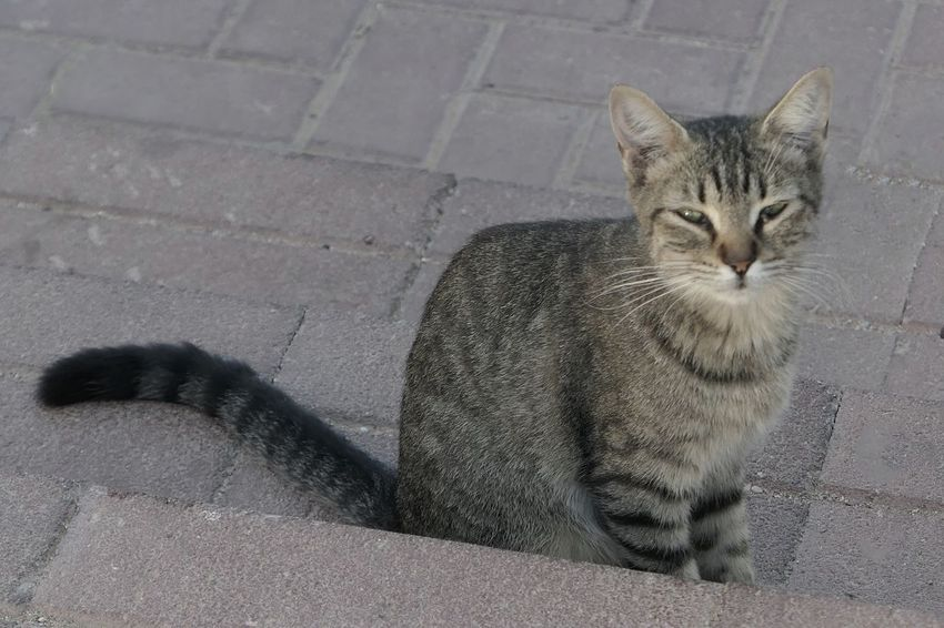 City Life Street Photography Cat Feline Domestic Cat Mammal Pets Domestic Domestic Animals One Animal Looking At Camera No People Portrait Day Relaxation Looking Paving Stone